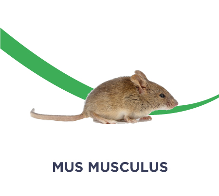dératisation mus musculus