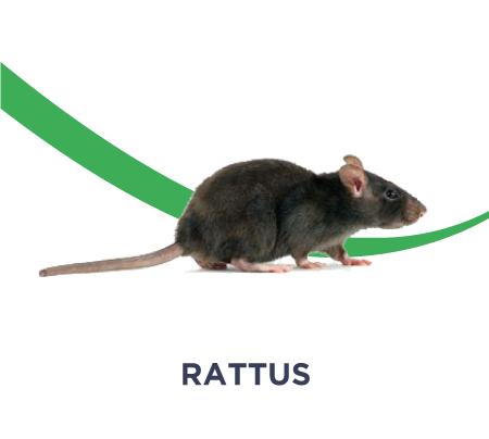 dératisation rattus